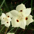 Dietes bicolor 30 seeds YELLOW AFRICAN Spanish IRIS Fortnight Lily EASY