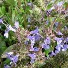 Salvia mellifera x sonomensis 'Dara's Choice' 11 seeds BLUE CREEPING CA Native SAGE Hard-To-Find