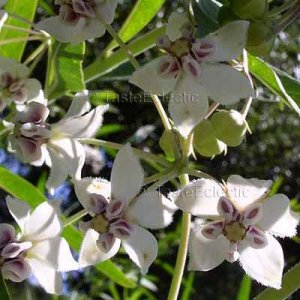 Asclepias/Gomphocarpus physocarpus 25 seeds BALLOON MILKWEED Cotton Bush Butterflies