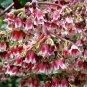 Ardisia/Synardisia venosa/Parathesis 5 seeds V V RARE Cloud Forest Tree Shrub AMAZING BLOOMS