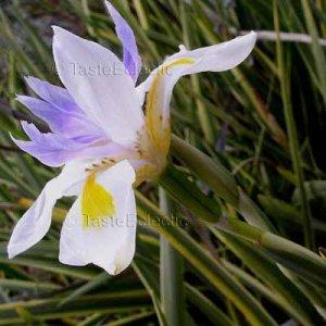 Dietes grandiflora 'Variegata' 30 seeds V RARE VARIEGATED African Cape Iris FORTNIGHT LILY