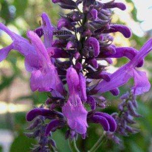 Salvia purpurea 10 seeds V RARE MEXICAN SAGE Autumn To Winter Bloom