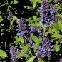Salvia lavanduloides 10 seeds RARE SOUTH AMERICAN Blue Purple Calyx SAGE SALE