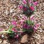 Salvia spathacea 20 seeds PINK GIANT HUMMINGBIRD PITCHER SAGE HARD2FIND SALE