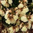 Salvia greggii 'Golden Girl' 8 seeds AUTUMN SAGE RARE Bright Yellow Red Veined