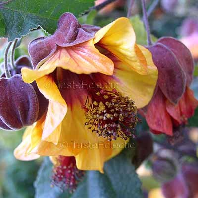 Abutilon 'Maroon Gold' 6 seeds COLOR CHANGING FLOWERING MAPLE Chinese Bell Flower GORGEOUS