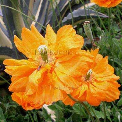 Papaver atlanticum 'Flore Pleno' 100 seeds SPANISH ORANGE POPPY everbloom Z5