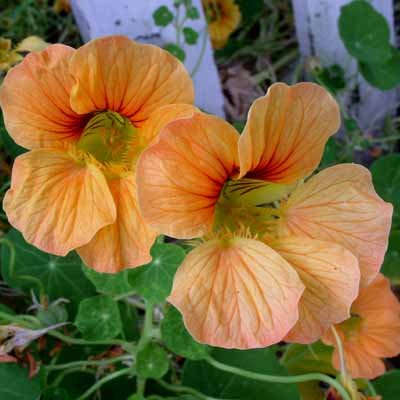 Tropaeolum majus 'Caribbean Crush'/'Evelyn' 15 seeds PAPAYA PEACH Nasturtium EDIBLE PRETTY Capers