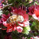 Echium wildpretii 20 seeds RED TOWER OF JEWELS Easy RARE AGM Bees SALE
