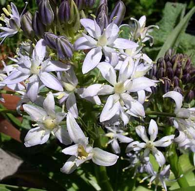 Scilla peruviana 'Alba' 10 seeds WHITE CUBAN CARIBBEAN LILY Star Of Peru V RARE