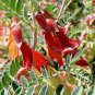 Lessertia frutescens 10 seeds HARDY African Balloon Pea Bush PARROT BEAK Red Lobster Z7