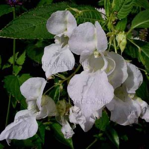 Impatiens glandulifera var candida WHITE 10 seeds Himalayan Jewelweed SHADE Hard-To-Find
