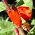 Cuphea nudicostata 5 seeds CHIAPAS SHADE CIGAR PLANT Heather Bunny Ears RARE ORANGY-RED