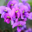 Hardenbergia violacea 'Happy Wanderer' 10 seeds PURPLE CORAL PEA VINE Unusual WINTER WISTERIA