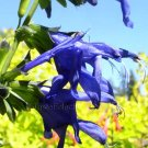 Salvia guaranitica 7 seeds BLUE ANISE SAGE Hard-To-Find Z7
