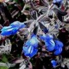 Salvia sinaloensis 11 seeds BICOLOR SAPPHIRE BLUE SAGE Shade Z7
