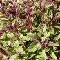 Salvia sinaloensis 10 seeds BICOLOR SAPPHIRE BLUE SAGE Shade Z7