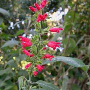Salvia disjuncta x karwinskii 6 seeds ONLY SOURCE ? Cherry Pink Sage RARE ?