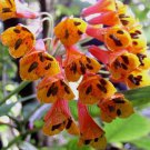 Bomarea acutifolia 5 seeds V RARE CLIMBING Astroemeria SOUTH MEXICAN PERUVIAN LILY Vine SALE