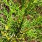 Alyogyne hakeifolia 10 seeds NEEDLE LEAF BLUE HIBISCUS RARE