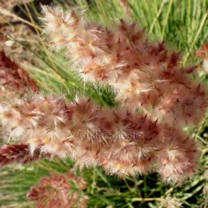 Melinis nerviglumis 35 seeds RUBY PINK BUBBLE Red-Topped Ornamental Grass TROPICAL COMPACT