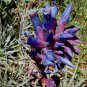 Puya venusta 20 seeds PINE CONE BLUE Terrestrial BROMELAID Chile RARE SALE