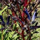 Puya coerulea 20 seeds SCARLET STALK BLUE Terrestrial BROMELAID Chile RARE