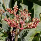 Cyphostemma juttae 5 seeds V RARE TREE GRAPE Caudex Succulent AFRICAN Bees