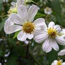 Montanoa leucantha ssp arborescens 4 seeds CHOCOLATE SCENT White GIANT TREE DAISY V RARE