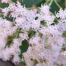 Ageratina ligustrina 'Coahuila' 20 seeds PRIVET LEAVED EUPATORIUM Hard-To-Find AROMATIC SHADE