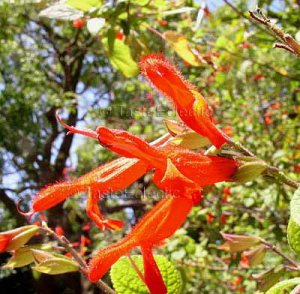 Salvia gesneraeflora 10 seeds RED-GREEN BIG MEXICAN SAGE