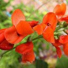 Phaseolus coccineus 'Red Nightfall' 6 seeds SCARLET RUNNER BEAN Vine EASY
