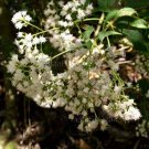 Ageratina ligustrina 'Chiapas' 20 seeds PRIVET LEAVED EUPATORIUM Hard-To-Find AROMATIC SHADE