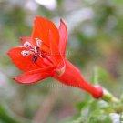 Fuchsia tincta 12 seeds V RARE PERU