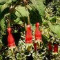 Fuchsia splendens 20 seeds CHILI PEPPER Hard-To-Find SALE