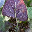 Salvia macrophylla Purple Underside 10 seeds Peru Tingo Blue SAGE RARE