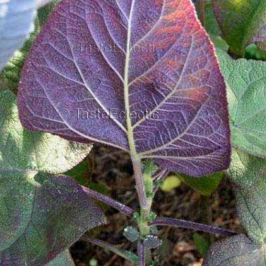 Salvia macrophylla Purple Underside 5 seeds Peru Tingo Blue SAGE RARE