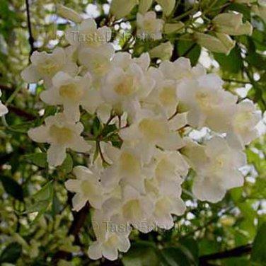 Pandorea pandorana ALBA SNOW BELLS 25 seeds WONGA WONGA VINE Easy V RARE