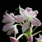 Crinum moorei 2 seeds PINK NATAL LILY Fresh HARD-TO-FIND Unusual Rare Bulb Perennial SPROUTED