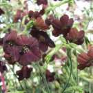Nicotiana 'Hot Chocolate' 35 seeds FAST EASY Maroon Tall
