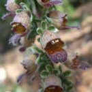 Digitalis parviflora 25 seeds SPANISH FOXGLOVE Hardy Z4