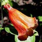 Halleria elliptica 7 seeds WILD AFRICA SHRUB FUCHSIA Honeysuckle V RARE