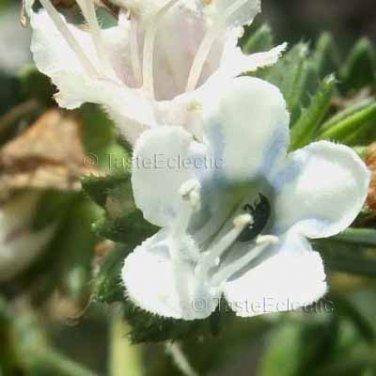 Echium decaisnea 11 seeds HARD-TO-FIND Canary Island Pride Of Madeira White-Blue Vein