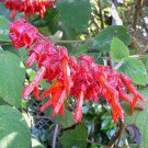Salvia libanensis 3 seeds VIGOROUS SHOWY Colombia V HARD-TO-FIND New Rare