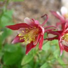 Aquilegia x hybrida 'Origami Red & White' 35 seeds COMPACT LONG BLOOM COLUMBINE Bicolor