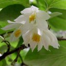 Styrax platanifolius ssp mollis 9 seeds SYCAMORE LEAF SNOWBELL TREE SHRUB Hard-To-Find