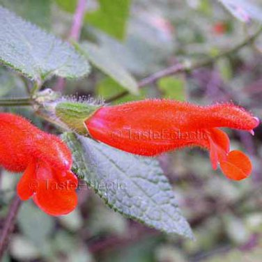 Salvia disjuncta 9 seeds SOUTHERN MEXICAN SAGE Hard-To-Find