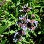 Salvia brandegeei 'Pacific  Blue' 10 seeds SANTA ROSA ISLAND SAGE Hard-To-Find FRAGRANT BEES