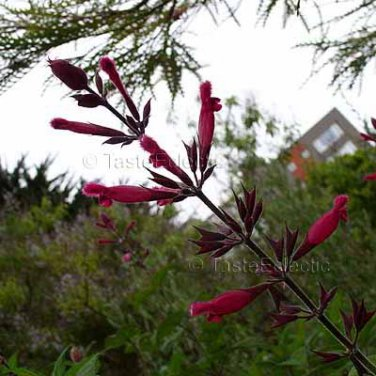 Salvia 'Unknown' 6 seeds karwinskii x involucrata ? RARE SET Sage