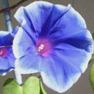BLUE SUEDE SHOES Hatsu Arashi Mutation Japanese Morning Glory 10 seeds RARE Vine SALE